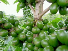 green coffee beans 3